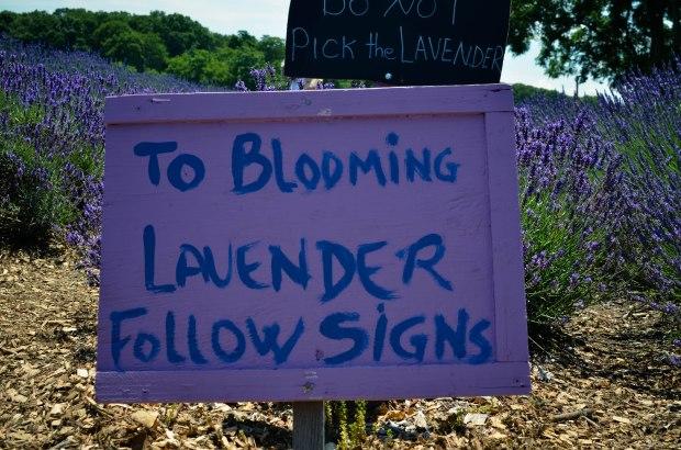 lavender-0124