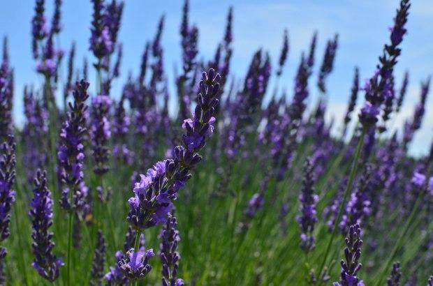 lavender-0125