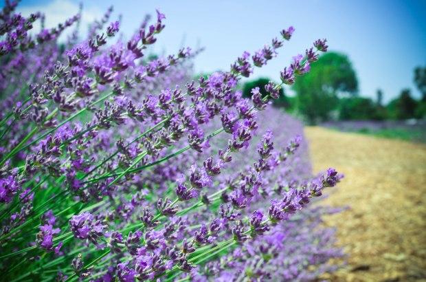 lavender-0162