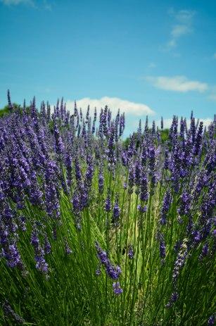 lavender-0301
